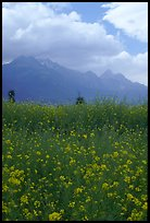 Fields with yellow mustard, below the Jade Dragon mountains. Baisha, Yunnan, China ( color)