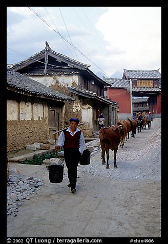Through village streets with the cows. Baisha, Yunnan, China (color)