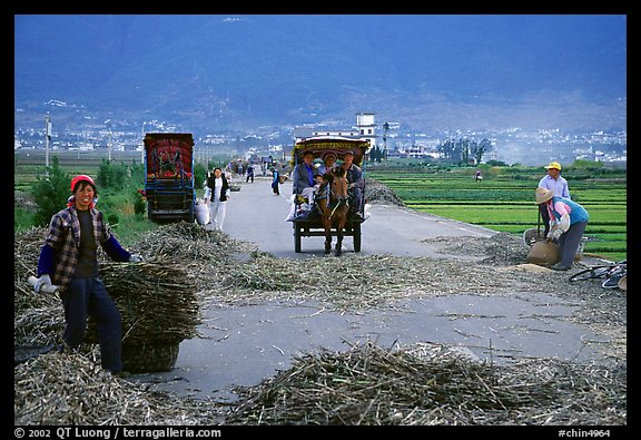 Grain being layed out on a country road (threshing). Dali, Yunnan, China