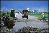 Grain being layed out on a country road (threshing). Dali, Yunnan, China (color)