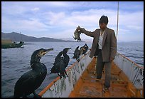 Cormorant fisherman regroups his birds at the end of fishing session. Dali, Yunnan, China