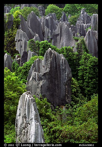 Trees and grey limestone pillars of the Stone Forest, eroded into fanciful forms. Shilin, Yunnan, China (color)