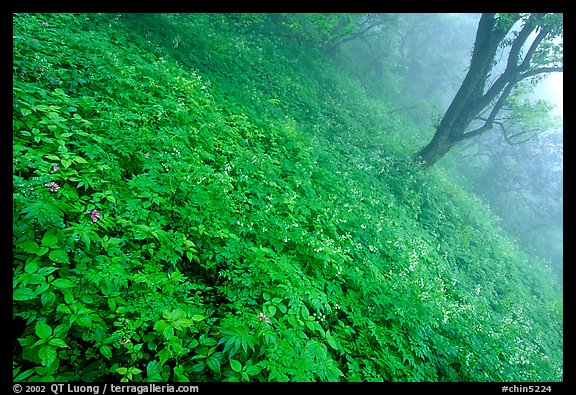 Lush hillside in mist between Hongchunping and Xiangfeng. Emei Shan, Sichuan, China