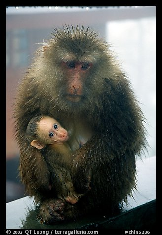 Monkey and baby monkey. Emei Shan, Sichuan, China (color)