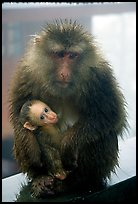 Monkey and baby monkey. Emei Shan, Sichuan, China