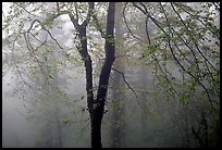 Trees in fog between Xixiangchi temple and Leidongping. Emei Shan, Sichuan, China ( color)