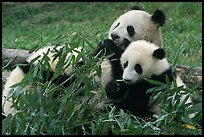 Panda mom and cubs eating bamboo leaves, Giant Panda Breeding Research Base. Chengdu, Sichuan, China (color)