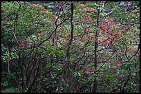 Blooming trees in forest. Huangshan Mountain, China ( color)