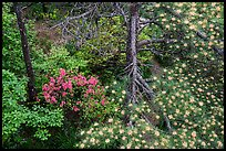 Trees with blooms. Huangshan Mountain, China ( color)
