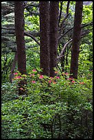 Rhododendrons and tree trunks. Huangshan Mountain, China ( color)