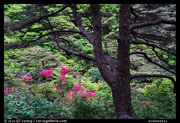 Tree and rhododendrons in bloom. Huangshan Mountain, China (color)