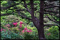 Tree and rhododendrons in bloom. Huangshan Mountain, China ( color)