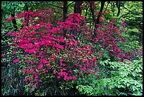 Vivid rhododendrons in forest. Huangshan Mountain, China ( color)