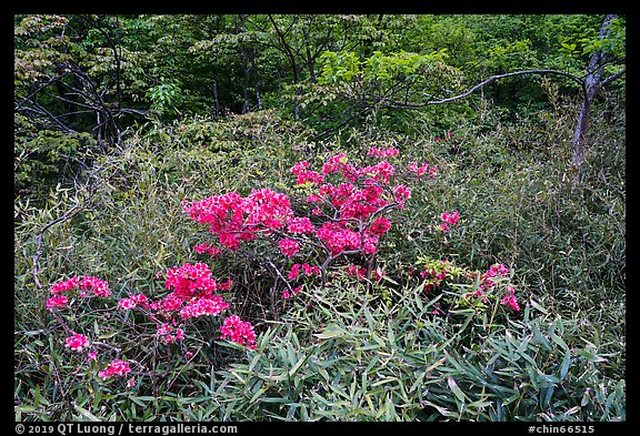 Bright rhododendrons in bloom. Huangshan Mountain, China (color)