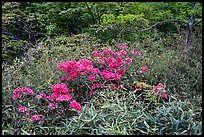 Bright rhododendrons in bloom. Huangshan Mountain, China ( color)