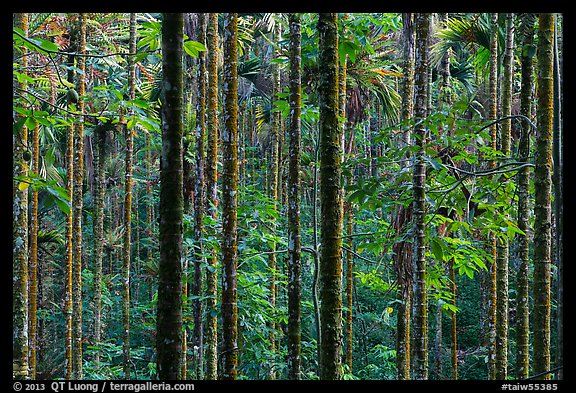 Dense forest with green leaves. Sun Moon Lake, Taiwan (color)