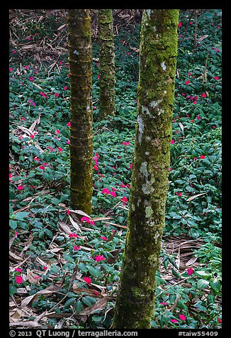 Mossy trees and undergrowth with flowers. Sun Moon Lake, Taiwan (color)