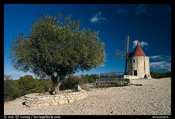Olive tree and Alphonse Daudet windmill, Fontvielle. Provence, France (color)