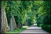 Chestnut trees, alley in English Garden, Palace of Fontainebleau. France ( color)