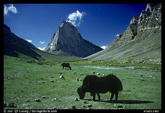 Yaks and Gumburanjan monolith, Zanskar, Jammu and Kashmir. India (color)