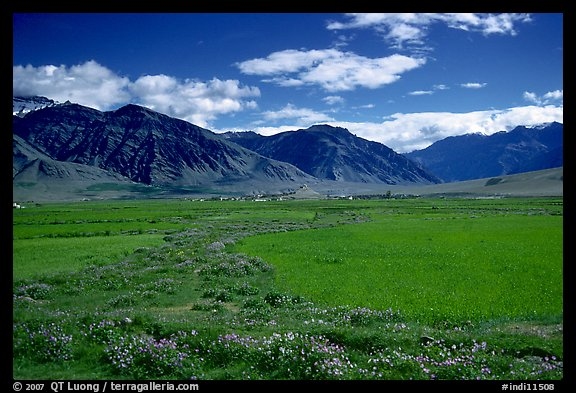 Wildflowers and cultivated fields in the Padum plain, Zanskar, Jammu and Kashmir. India (color)