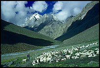 Trekker and sheep herd, Zanskar, Jammu and Kashmir. India (color)
