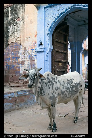 Cow and blue-washed archway. Jodhpur, Rajasthan, India (color)