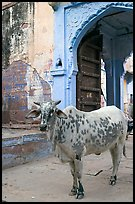 Cow and blue-washed archway. Jodhpur, Rajasthan, India ( color)