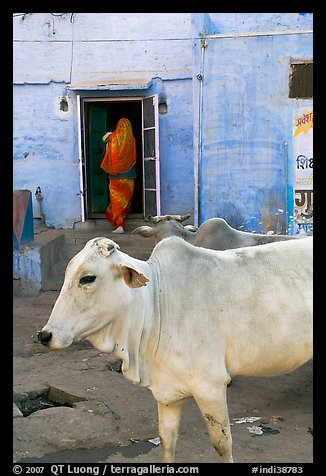 Cow and house with blue-washed walls. Jodhpur, Rajasthan, India (color)