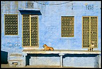 Dogs and sunlit blue house. Jodhpur, Rajasthan, India