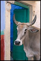 Cow and doorway. Jodhpur, Rajasthan, India ( color)