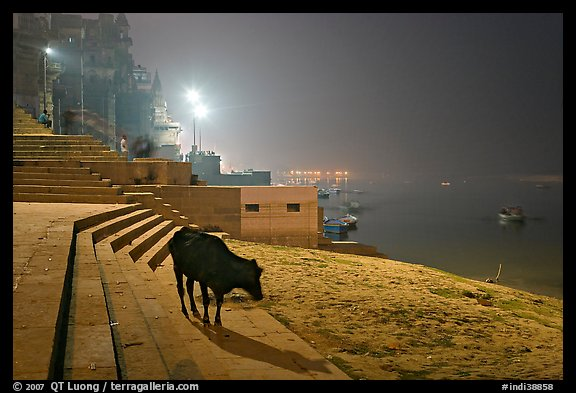 Sacred cow on the banks of Ganges River at night. Varanasi, Uttar Pradesh, India (color)
