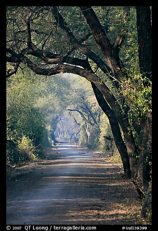 Path and tree tunnel, Keoladeo Ghana National Park. Bharatpur, Rajasthan, India