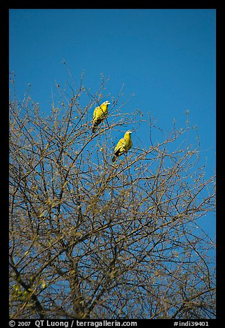 Yellow pigeons, Keoladeo Ghana National Park. Bharatpur, Rajasthan, India (color)