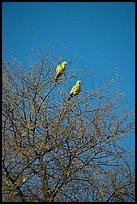 Yellow pigeons, Keoladeo Ghana National Park. Bharatpur, Rajasthan, India ( color)