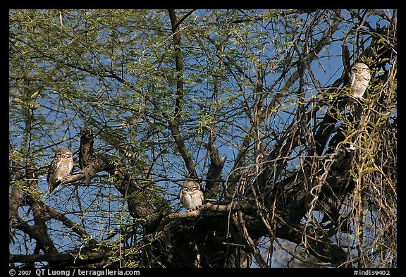 Owls perched in tree, Keoladeo Ghana National Park. Bharatpur, Rajasthan, India (color)