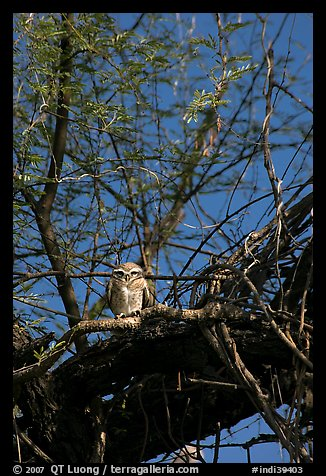 Owl perched in tree, Keoladeo Ghana National Park. Bharatpur, Rajasthan, India (color)