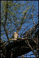 Owl perched in tree, Keoladeo Ghana National Park. Bharatpur, Rajasthan, India