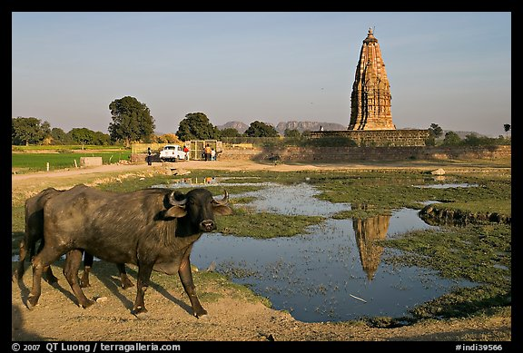 Javari Temple in rural setting with pond and caw, Eastern Group. Khajuraho, Madhya Pradesh, India (color)