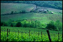Grape rows, Chianti vineyard and village. Tuscany, Italy (color)