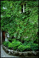 Ivy-covered wall in a Courtyard inside Villa Rufulo, Ravello. Amalfi Coast, Campania, Italy (color)