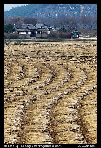 Fields with cut crops and historic house. Hahoe Folk Village, South Korea (color)