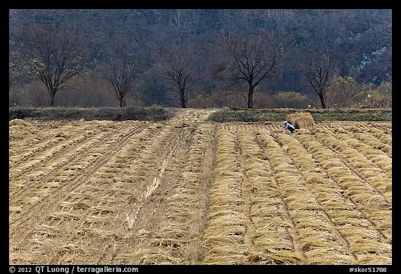 Field with cut crops and villager. Hahoe Folk Village, South Korea (color)
