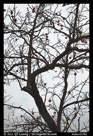 Pomegranate tree with bare branches and fruits. Hahoe Folk Village, South Korea (color)
