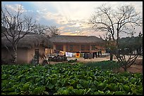 Cabbage field and rural house at sunset. Hahoe Folk Village, South Korea (color)