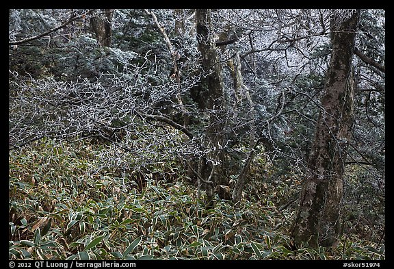 Frosted oak forest, Hallasan National Park. Jeju Island, South Korea (color)