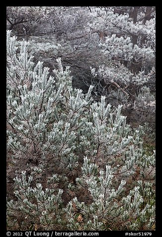Frosted pine branches, Hallasan National Park. Jeju Island, South Korea (color)