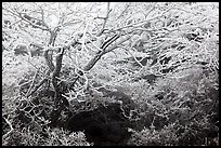 Trees with hoar frost, Mt Halla. Jeju Island, South Korea
