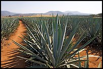 Agave field cultivated to make Tequila. Mexico (color)
