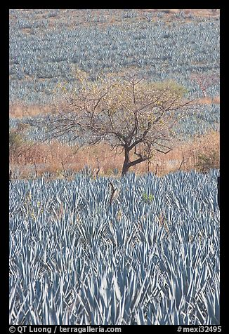Blue Agave field and tree. Mexico (color)